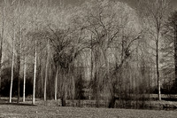 Weeping Willow - Nanteuil