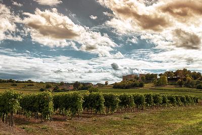 Bouteville - Vineyard Photoshoot